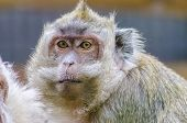 picture of macaque  - A close portrait view of a yellowish golden brown to gray crab eating macaque with a mustach and whiskers staring - JPG