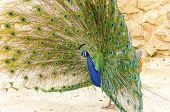 foto of saraswati  - A profile view of a male peacock displaying - JPG
