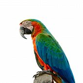picture of harlequin  - Colorful Harlequin Macaw aviary side profile isolated on a white background - JPG