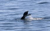 Tail Of Humpback