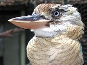 picture of blue winged kookaburra  - At the Cairns Tropical Zoo - JPG