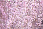 stock photo of weeping  - Weeping sakura - JPG