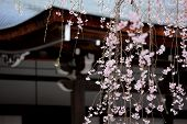 Weeping sakura infront of japanese temple