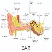 foto of human ear  - vector illustration of diagram of human ear anatomy - JPG