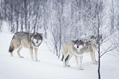 stock photo of wolf-dog  - Wolf in a norwegian winter forest - JPG