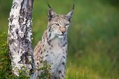 stock photo of wildcat  - Eurasian lynx standing by a tree in the green grass.