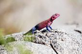 Colorful gecko in Serengeti
