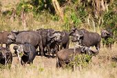 Buffalos in Serengeti Africa