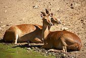 Burmese Deer