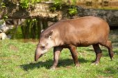 stock photo of tapir  - Brazilian tapir  - JPG
