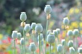 stock photo of opium  - this is poppy capsule in poppy garden - JPG