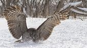 foto of snow owl  - Close up image of a great gray owl in flight, focused on catching its prey.  Winter in Winnipeg, Manitoba