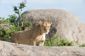 Lioness On Gol Kopjes In Serengeti National Park