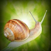 Natural background with Edible snail (Helix pomatia) on the grass.