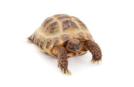 picture of russian tortoise  - Russian Asian tortoise over white background close up - JPG