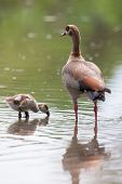 Egyptian Goose Family Go For A Swim On Their Own In Dangerous Water