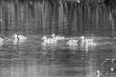 foto of baby goose  - Egyptian goose family go for a swim on their own in dangerous wild water artistic conversion - JPG