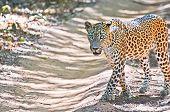 Sri Lankan Leopard - Panthera Pardus Kotiya At Wilpattu National Park