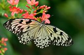 image of nymph  - White Tree Nymph butterfly with red flowers - JPG