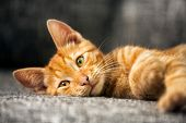 Portrait of cute red kitten, looking at camera