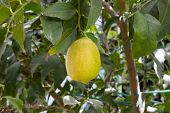 Yellow Lemon In Tree
