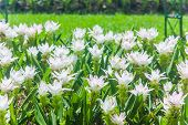 stock photo of curcuma  - Curcuma Alismatifolia Or Siam Tulip Or Summer Tulip