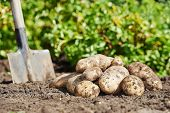 picture of potato-field  - fresh organic potatoes vegetable in the field on soil - JPG