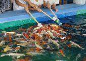 Feeding Koi Fish With Milk Bottle