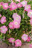 pic of petunia  - Petunia or Petunia Hybrida Vilm in the garden or nature park - JPG