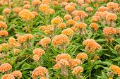 stock photo of celosia  - Orange Celosia or Wool flowers or Cockscomb flower in the garden or nature park - JPG