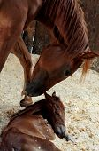 picture of foal  - this is a mother horse with her foal just hours after her birth - JPG