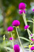 Close Up Purple Amaranth