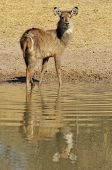 Постер, плакат: Waterbuck African Wildlife Background Calf of Reflection