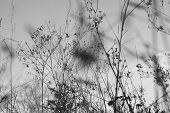 Dry Grass Black And White Photo