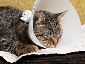 pic of castrated  - Sleeping cat with an Elizabethan collar inside home - JPG