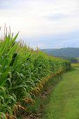 Gorgeous scene of cornfield