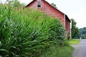 Old weathered red barn and cornfield