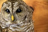 stock photo of taxidermy  - Beautiful example of the owl, with clear eyes and yellow beak, stuffed and hanging on wall of rural home.