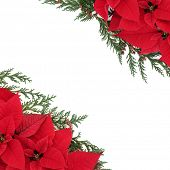 Poinsettia flower background border with cedar cypress leaf sprigs over white.