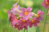 Red Primrose Flower In The Garden