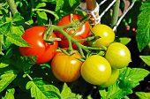 Maskotka cherry tomatoes on plant.