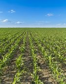 Growing corn field green agricultural landscape