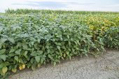 Green soybean plants close-up shot mixed organic and gmo