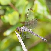 foto of stick-bugs  - Dragonfly with gree eyes resting on a stick - JPG