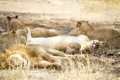 stock photo of african animals  - Young lion sleeps with a large pride of lions in Serengeti Tanzania - JPG