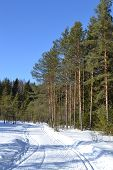 Forest In Winter, Sunny Day.