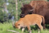 pic of calves  - Mother and  Calf  Wood Bison enjoy the vegetation at Elk Island  Park - JPG