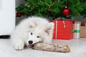 Playful Samoyed dog with firewood with Christmas tree on background