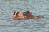 Hippo, Lake Chamo, Ethiopia, Africa