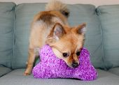 A beautiful pure breed Pomeranian Dog Smiles and plays with her favorite Squeaky toy. Pomeranian Dogs are good dogs for small apartments and are friendly with other dogs and pets.